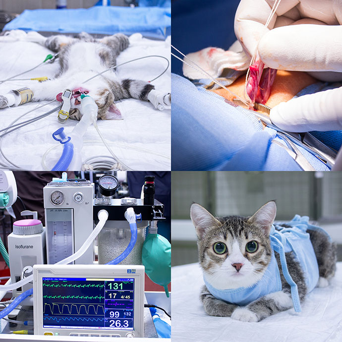 процесс стерилизации кошки