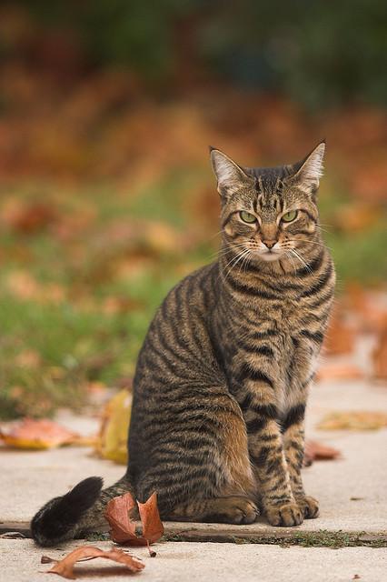 полосатые кошки характер