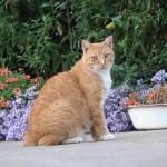 Удивительные бесхвостые кошки с острова Мэн