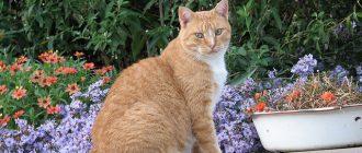 менская кошка