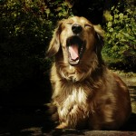 Собаки зевают… от сопереживания