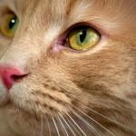 Оказывается, для сужения зрачка кошки, собаки и грызуны вовсе не нуждаются  в команде мозга