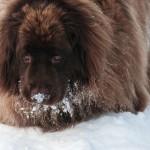 Самые крупные собаки в мире — ТОП-9