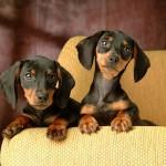 Когда необходимо воспитывать и дрессировать щенка и стоит ли это делать?