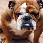 Собаки, которые не поддаются дрессировке