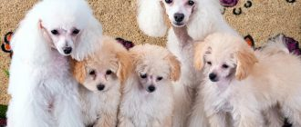 репродукция собак