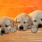 Психологические аспекты репродукции собак