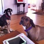 Влажные носы и сенсорный экран — собаки управляют iPad –ом