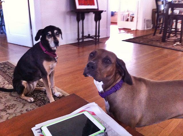 собаки и ipad