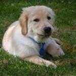 Почему собака ест траву? Собаки – вегетарианцы?