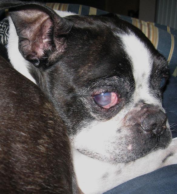 """Глаукома у собак. Симптомы, лечение. — Блог ветклиники """"Беланта"""""""