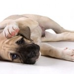 Аллергия у собак. Виды, симптомы, лечение.