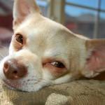 Первая процедура стентирования трахеи у собаки мелкой породы в московской клинике «Беланта» проведена успешно!