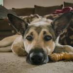 Парвовирусный энтерит у собак. Симптомы, профилактика