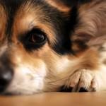 Оценка репродуктивных возможностей кобеля в условиях ветеринарной клиники