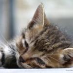 Кошачий век: сколько живут кошки?