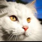 Ринотрахеит у кошек: способы заражения, лечение и профилактика