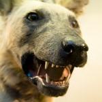 Признаки бешенства у собаки