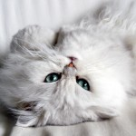 Особенности содержания персидских кошек