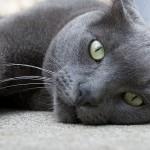 Русская голубая кошка — особенности породы