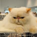 Породы кошек, созданные на основе мутаций