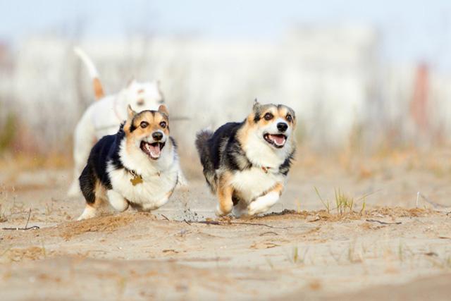 Характер любимой собаки королевы Англии