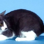 Преимущества и слабые стороны американской кольцехвостой кошки