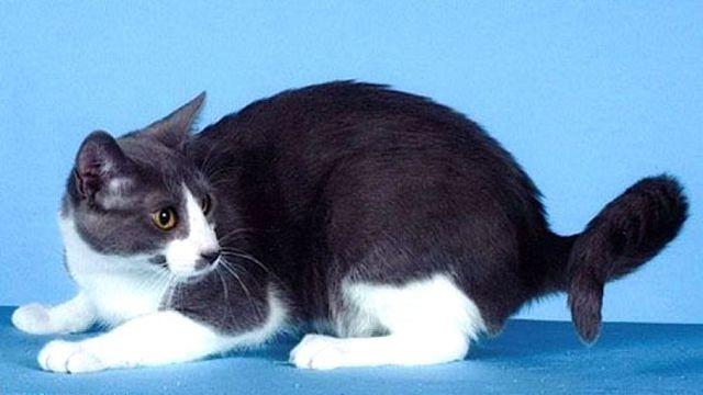 американская кольцехвостая кошка