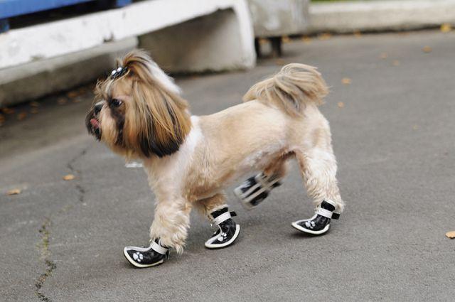 Собака в ботинках
