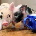 Мини-пиги дома: уход и содержание