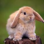Особенности и правила содержания декоративного кролика