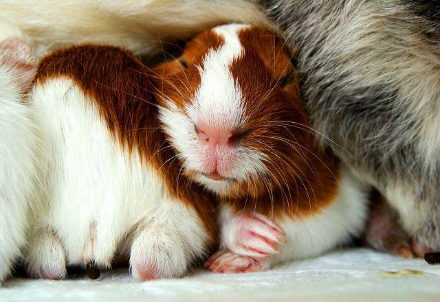 Все о морских свинках в домашних условиях отзывы 324