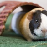 Содержание морских свинок в домашних условиях