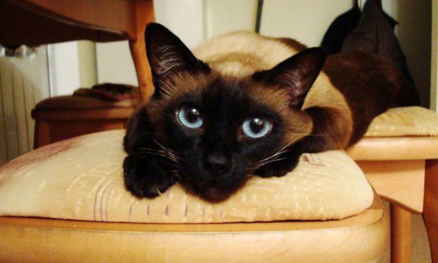 обои с сиамскими кошками на рабочий стол № 1074140 загрузить