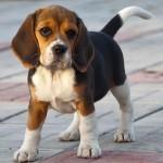 Особенности породы собак бигль
