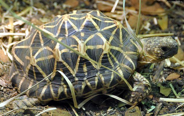 Звездчатая сухопутная черепаха