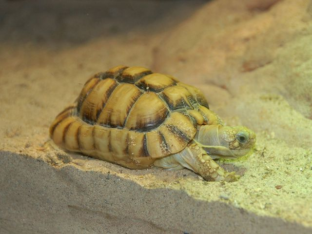 Египетская черепаха