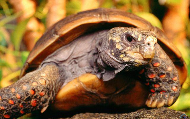 Угольные черепахи