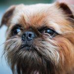 Гриффон — характеристика породы собак