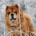 Собаки чау-чау: описание характера и породы