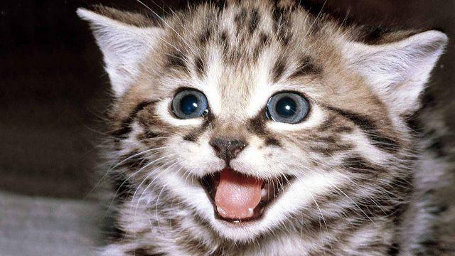 Вислоухий кот мяукает