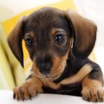 Советы по уходу за ушами щенков