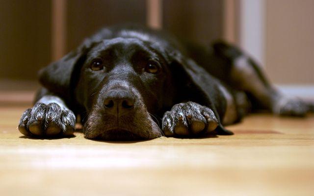Асцит у собак