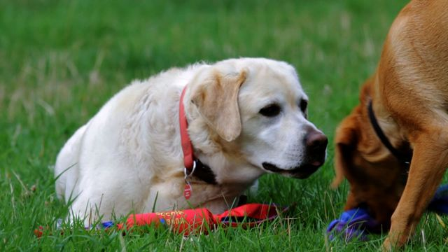 Артрит у собаки