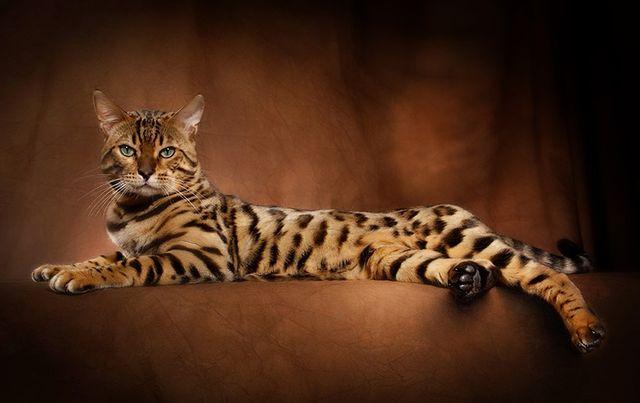 Описание Бенгальской Кошки | 403x640