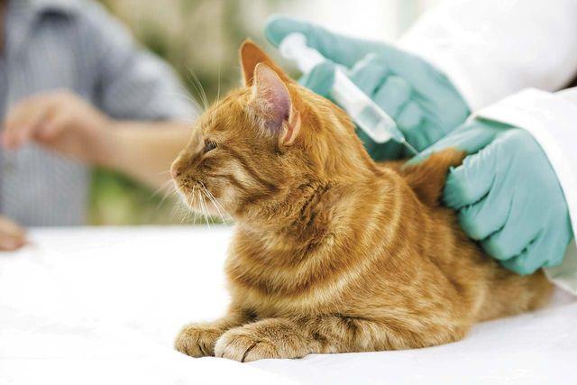 Vaccination cat