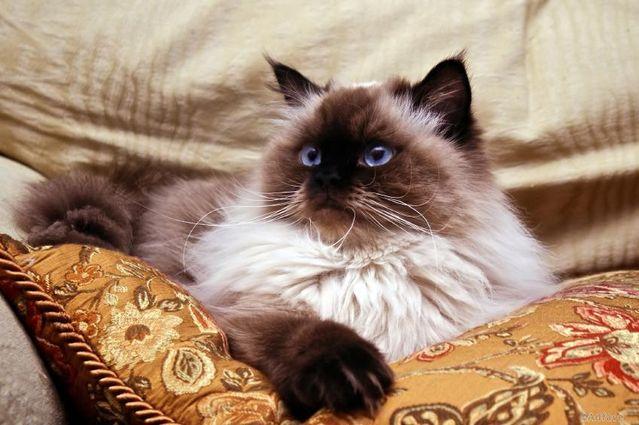 Персидские коты колор пойнт