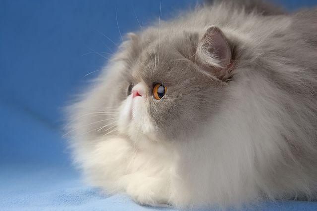 Персидские коты экстремальный