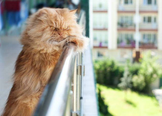 Персидские коты красный окрас