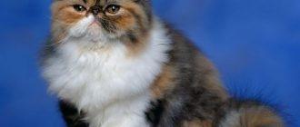 Персидские коты черепаховый окрас